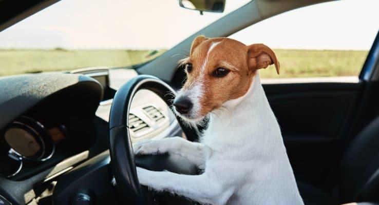 comment-transporter-chien-voiture